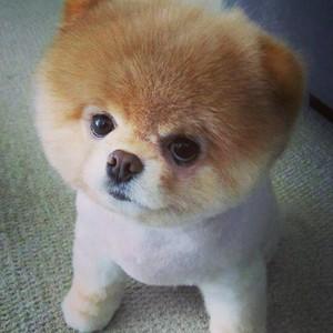 шпица порода собак фото