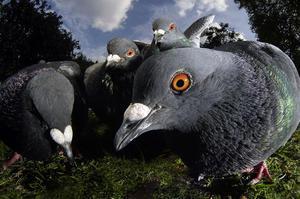 Чем голуби чувствуют
