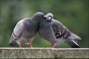 Факты о сизых голубях