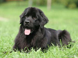 Порода собак ньюфаундленд доклад 7564