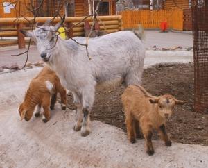 Коза камерунской породы