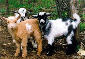 Вид камерунской породы коз