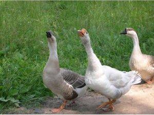 Перечень недостатков линдовской породы гусей