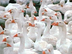 Преимущества и выгода для России в разведении линдовских гусей