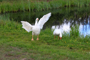 Характерная неприхотливость к климатическим условиям линдовских гусей
