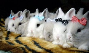 Искусственное кормление новорождённых крольчат. Кролики 60