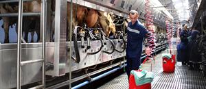 На ферме идет надой коров
