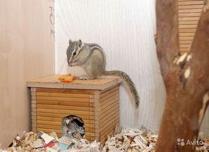 Фото бурундуков в домашних условиях