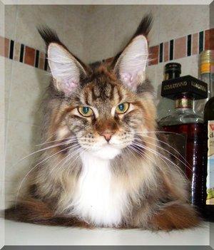 кот с кисточками на ушах порода фото