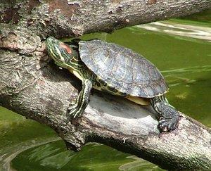Красноухая черепаха - Уход, кормление, содержание. Болезни ... | 243x300