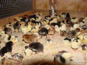 Инкубатор для цыплят в домашних условиях 89
