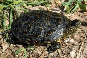Тема: Красноухие черепахи Выполнил: Гусев Дмитрий