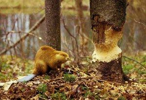 Бобры могут не только перегрызть ветки, но и валить деревья.