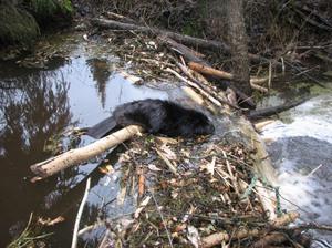 Бобры не только строят, но и ремонтируют свои плотины.
