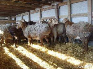 Забой гиссарских овец