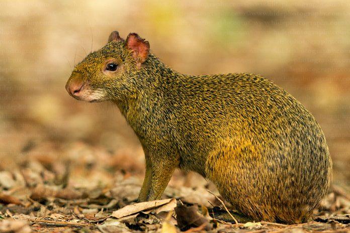 Агути или горбатый заяц: виды, среда обитания, поведение