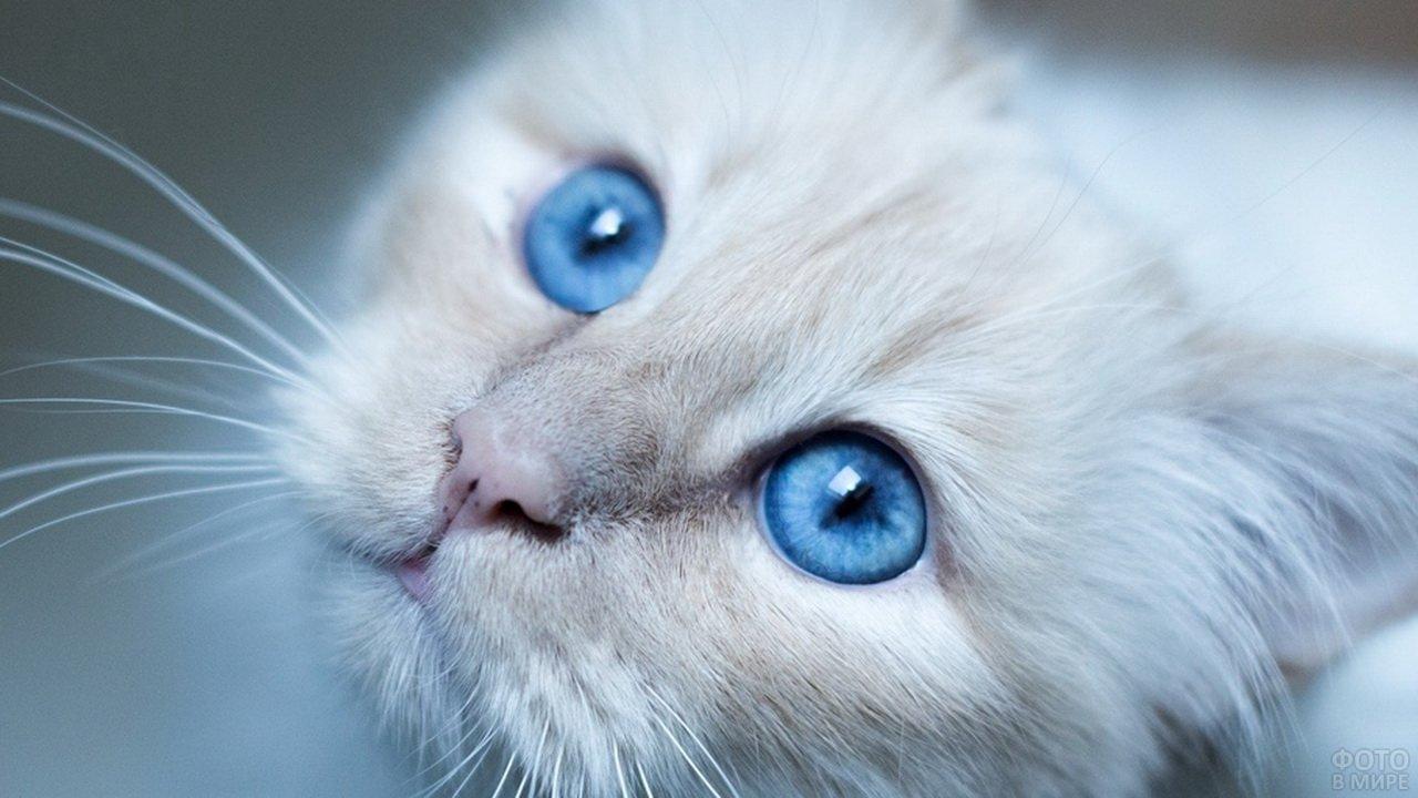 Белая голубоглазая кошка крупным планом