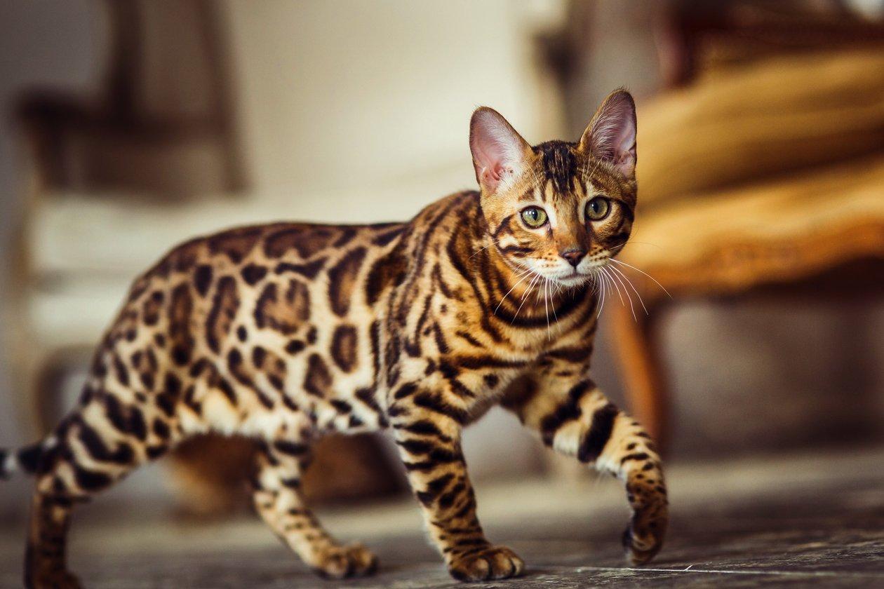 Бенгальские кошки: обзор по питомникам