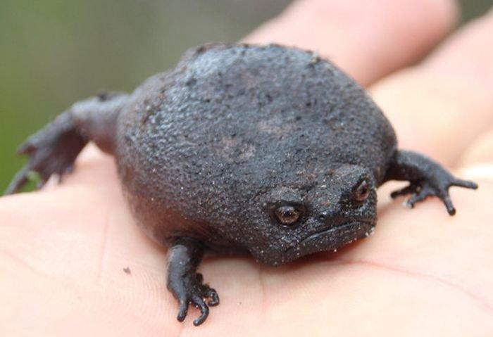 Чёрная дождевая или водяная лягушка