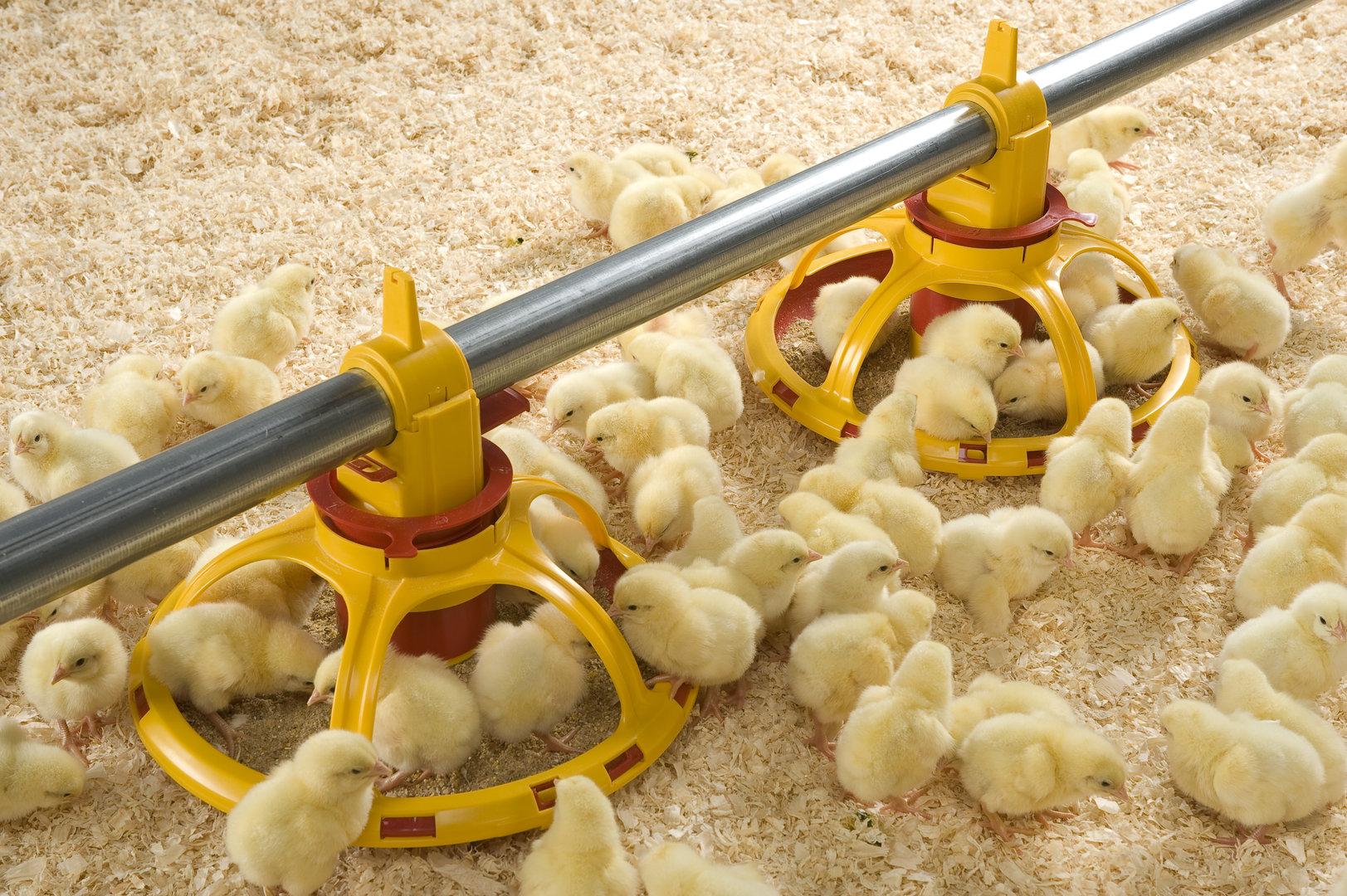 Чем кормить суточных, недельных и месячных цыплят