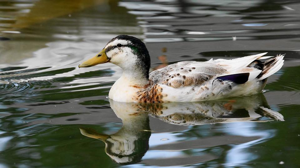 Чем могут питаться утки в дикой природе