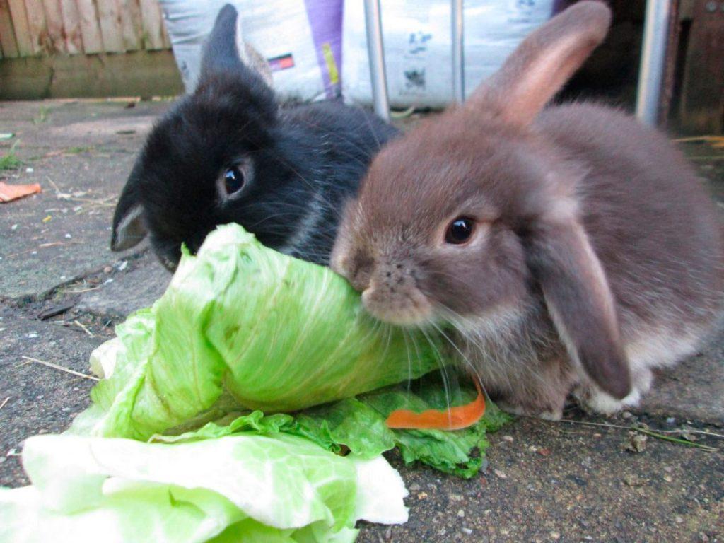 Что едят декоративные кролики и чего пробовать не должны?