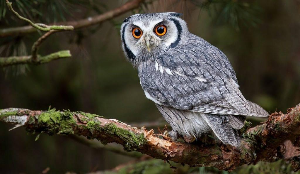 Что может есть сова, характеристики ночных птиц