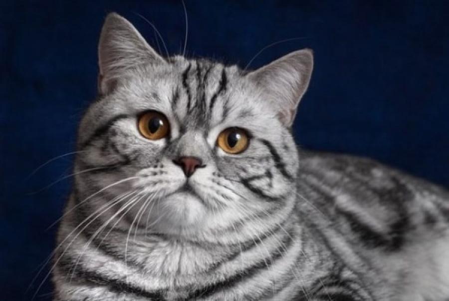 Что за порода кошек из рекламы «Вискас»