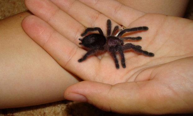Длительность жизни домашнего паука