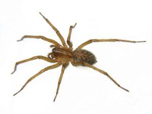 Домашний паук