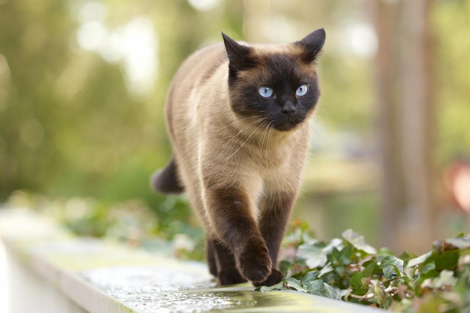 Характер Тайской кошки — грациозное величие