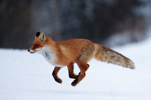 Характер лисы и ее содержание в домашних условиях