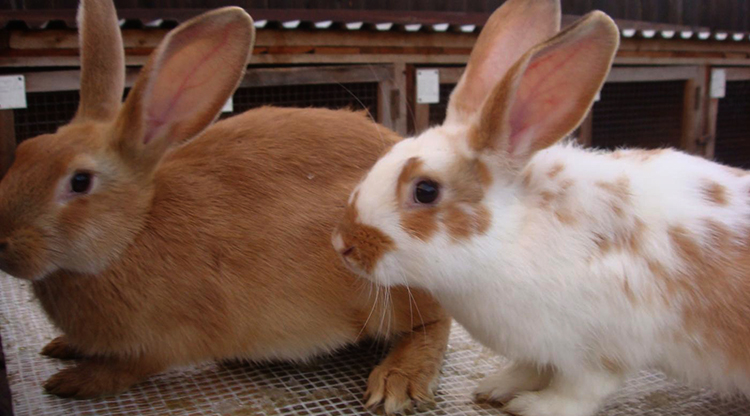 Информация о том, сколько может стоить живой кролик