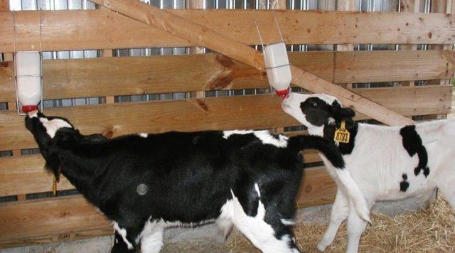 Использование сухого молока для телят