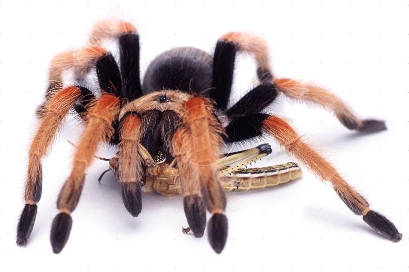 Как кормить домашнего паука
