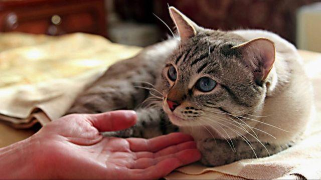 Как лечить отёк лёгких у кошки
