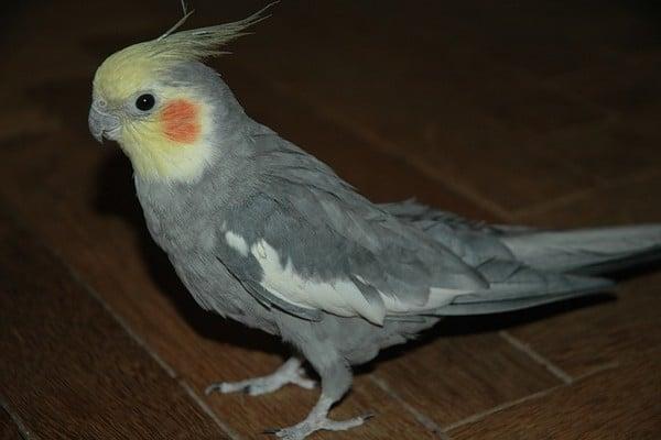 Корелла попугай уход и содержание научить разговаривать