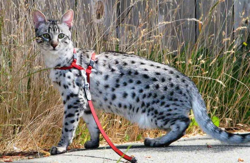 Как одевать шлейку на кота, поводок для прогулки на улице