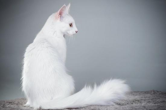 Как правильно ухаживать за кошкой породы турецкая ангора