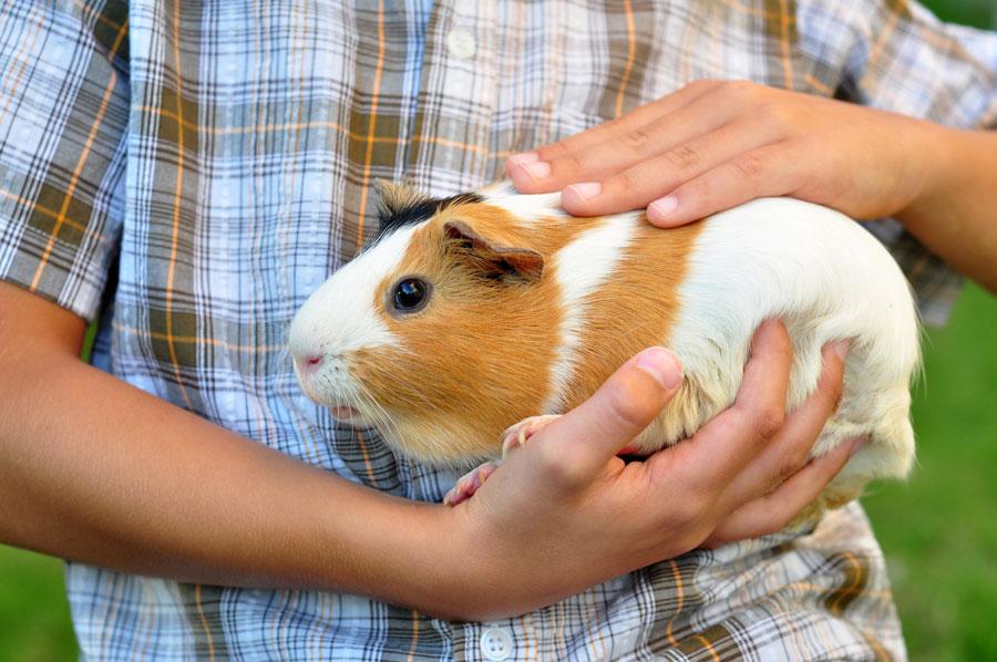 Как правильно ухаживать за потомством морских свинок