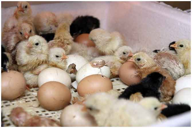 Как сделать инкубатор для выращивания цыплят своими руками