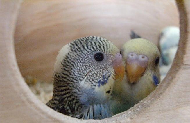 Как сделать комфортное гнездо для волнистых попугаев