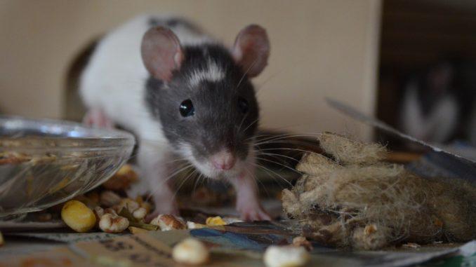 Как содержать и чем кормить домашнюю крысу?