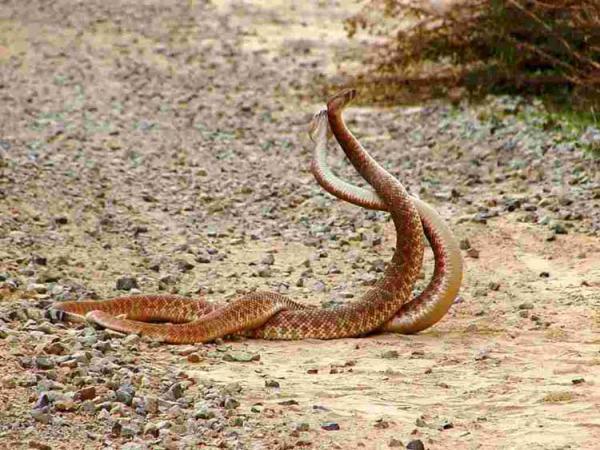 Как спариваются змеи. Особенности спаривания