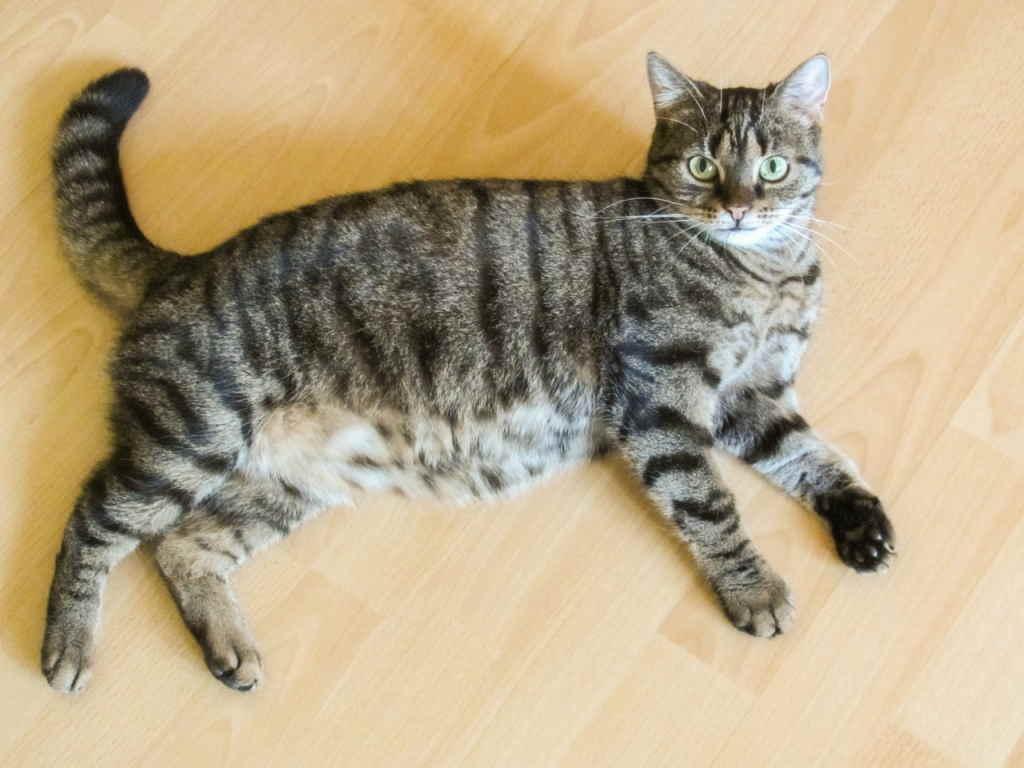 Как узнать, что кошка беременна – основные симптомы