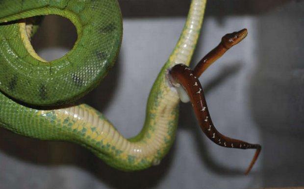Как змеи могут и рожать, и откладывать яйца?