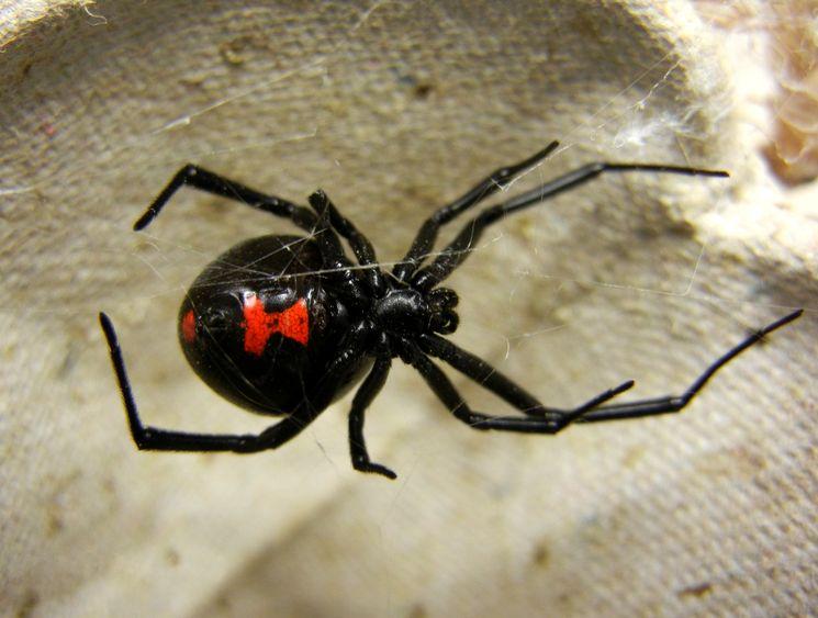 Каракурт — самый ядовитый паук на земле