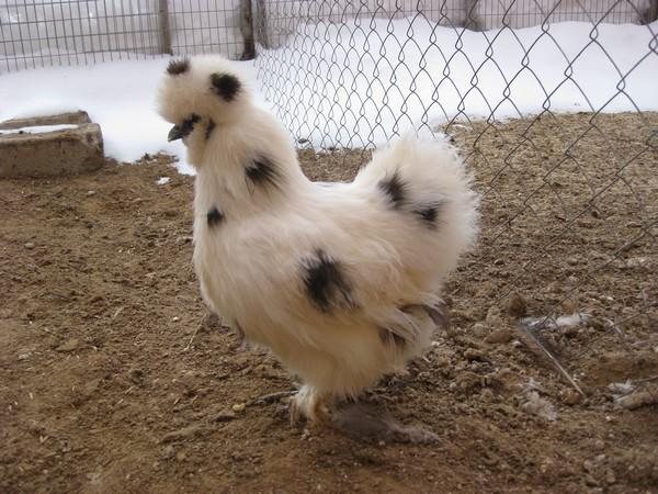 Китайская шелковая курица — приятно познакомиться