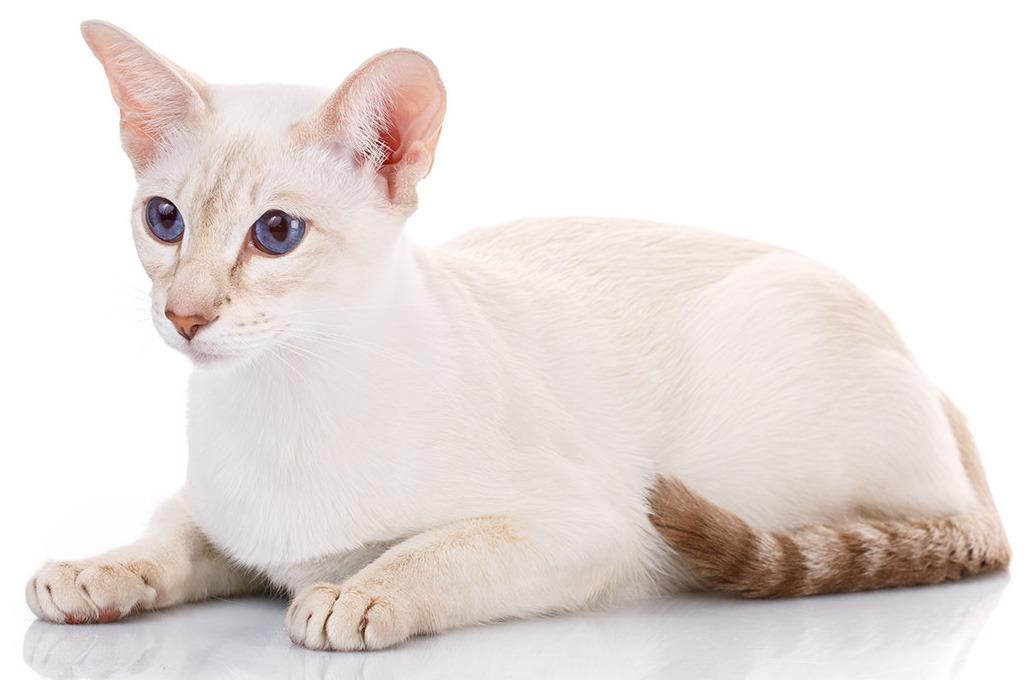 Колорпойнт короткошёрстный кошка