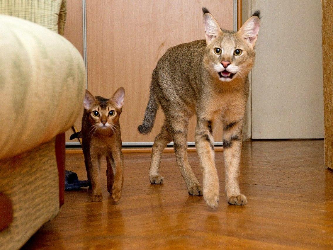 Кошка чаузи — мини-пума в вашем доме